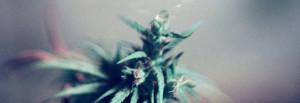 Planta de marihuana - Cannabis Club